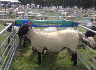 Coleford - Champion Suffolk Ashburton Show 2014