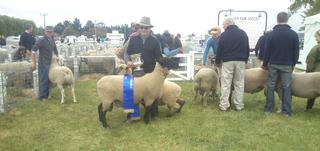 Omagh-Interbreed Champion Ram Hogget Ellesmere Show 2014